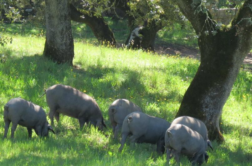 free-range-iberian-pigs