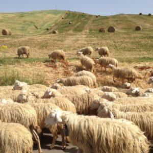 Sicily sheep on fields